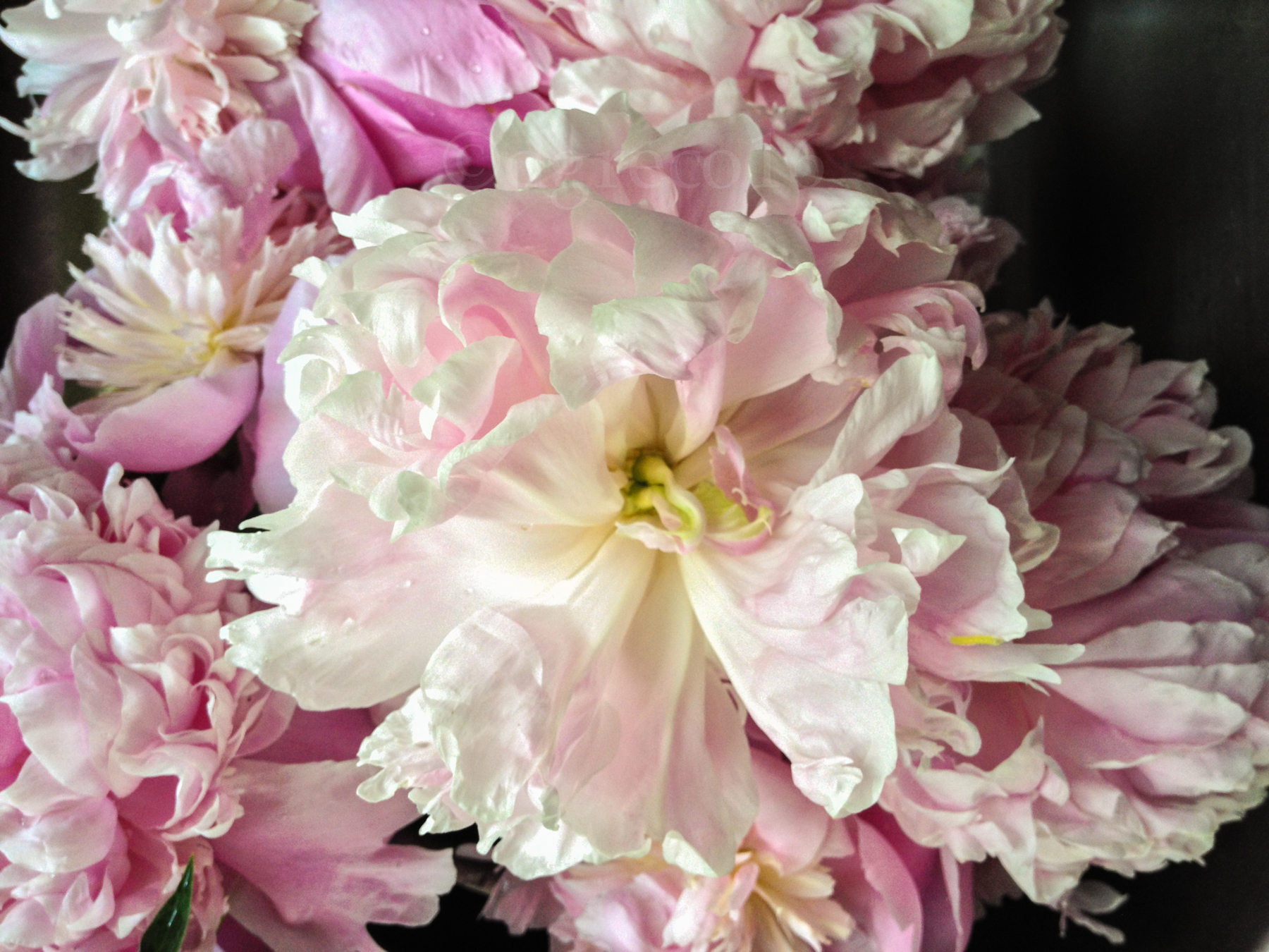 My Love Affair . . . with Peonies